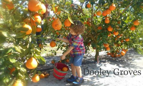 Dooley Groves Ruskin Florida U-Pick Citrus | upickfarmlocator.com