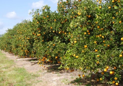 U-Pick Citrus A True Florida Attraction