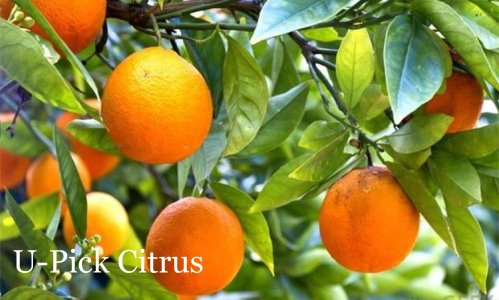 U-Pick Citrus Fort Myers, Florida | upickfarmlocator.com