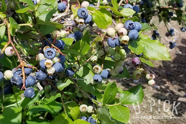 Porter's Patch Bonduel WI upick blueberries | upickfarmlocator.com