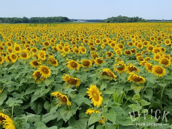 Bergsbaken Farms Cecil WI cut your own sunflowers | upickfarmlocator.com