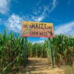 Corn Maze Shady Brook Farm PA | upickfarmlocator.com