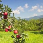 Hillcrest Apple Orchard North Caronlina u-pick apples | upickfarmlocator.com